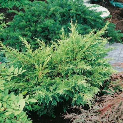Juniperus x MEDIA 'MORDIGAN GOLD'