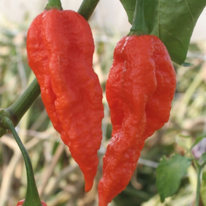 peperoncino-fatalii-red