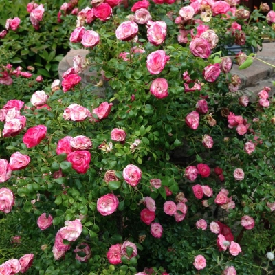 La Rosa Double Knockout Pink