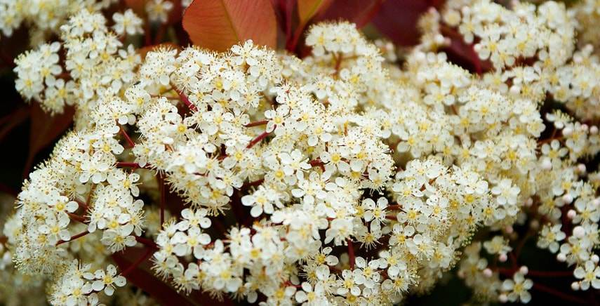 Belle, colorate e velenose: Photinia Red Robin, Viburnum Tinus, Laurocerasus