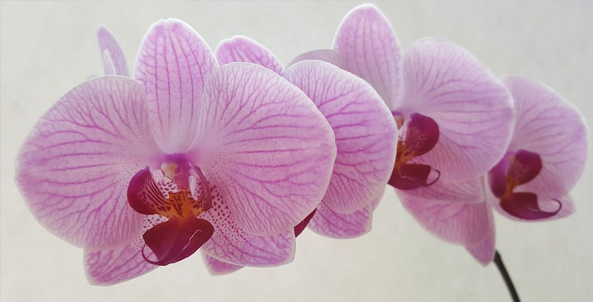 Orchidea, come curarla